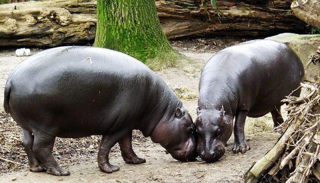 Gambar Nama Hewan Dari Huruf P Pygmy Hippopotamus