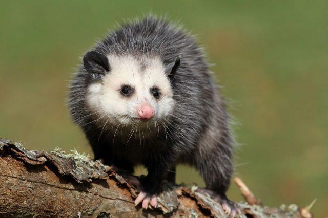 Gambar Nama Hewan Dari Huruf P possum ( opossum )