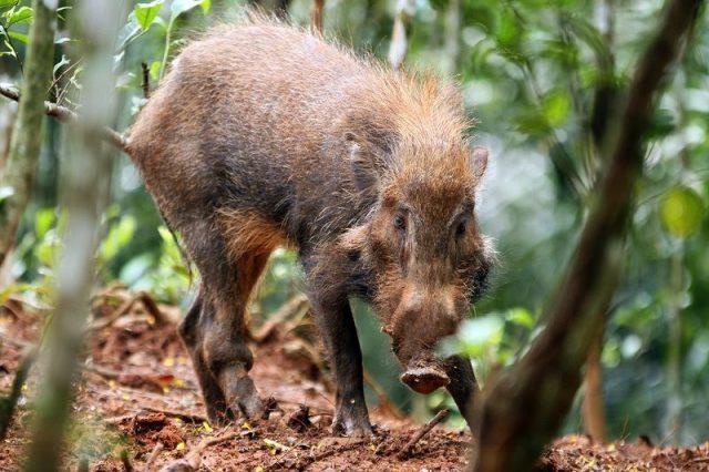 Gambar Babi kutil ( Sus verrucosus ) Hewan Langka Di Jawa