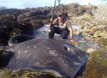 Gambar Ikan Pari Black Stingray (Dasyatis thetidis)
