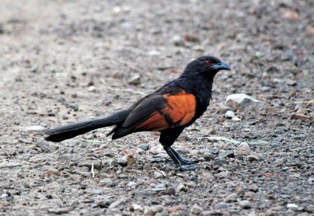 Gambar Burung Bubut jawa ( Centropus nigrorufus ) Hewan Langka Di Jawa