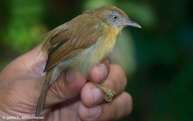 Gambar Burung Ciung-air jawa ( Macronous flavicollis ) Hewan Langka Di Jawa