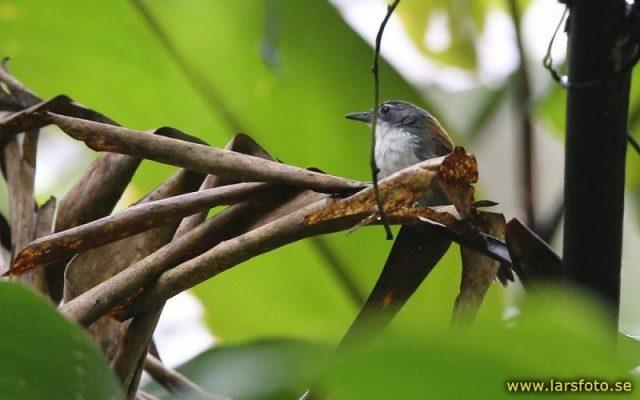 Gambar Burung Tepus dada-putih ( Stachyris grammiceps ) Hewan Langka Di Jawa