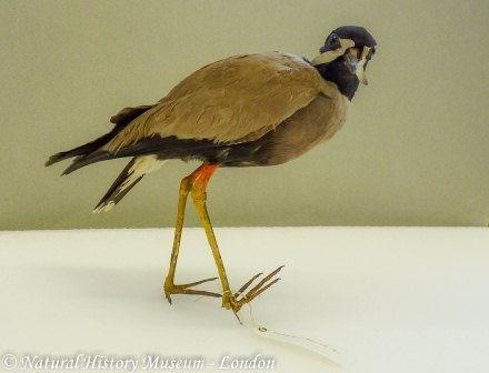 Gambar Burung Trulek jawa ( Vanellus macropterus ) Hewan Langka Di Jawa