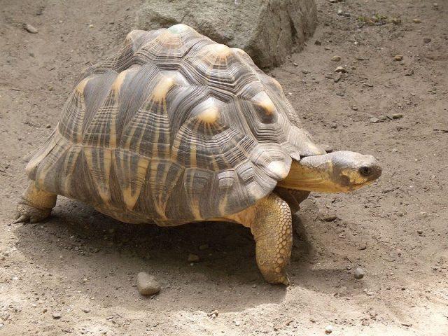 Gambar Radiated Tortoise Nama Hewan Dari Huruf R