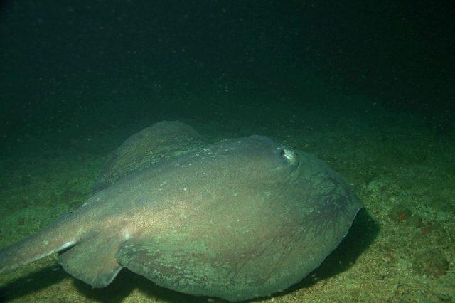 Gambar Ikan Pari Rat Tailed Ray (Gymnura australis)