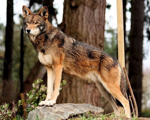 Gambar Red Wolf Nama Hewan Dari Huruf R