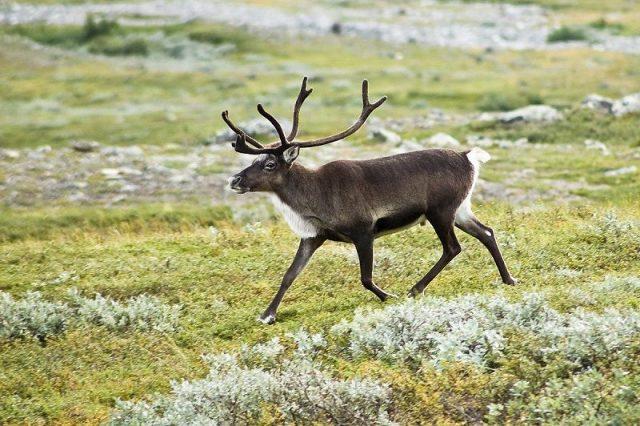 Gambar Reindeer Nama Hewan Dari Huruf R