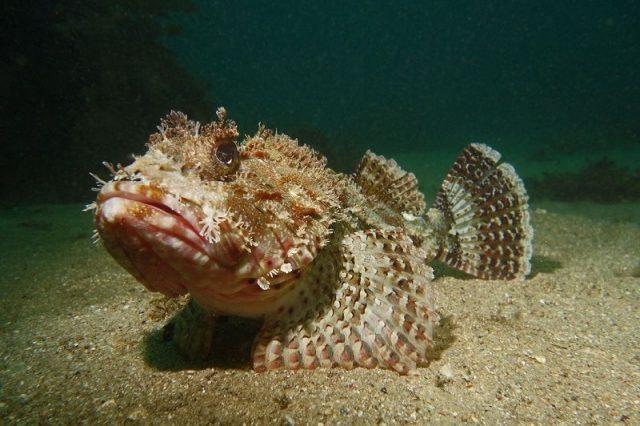 Gambar Scorpion Fish Nama Hewan Dari Huruf S