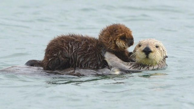 Gambar Sea Otter Nama Hewan Dari Huruf S