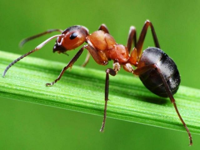 Gambar Semut Nama Hewan Dari Huruf S
