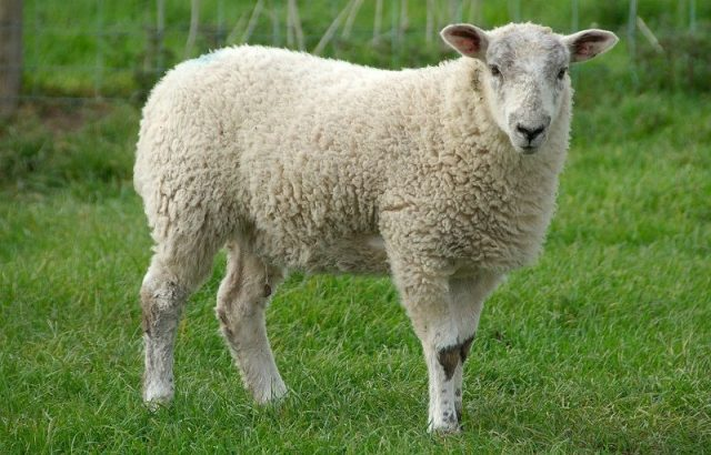 Gambar Sheep Nama Hewan Dari Huruf S