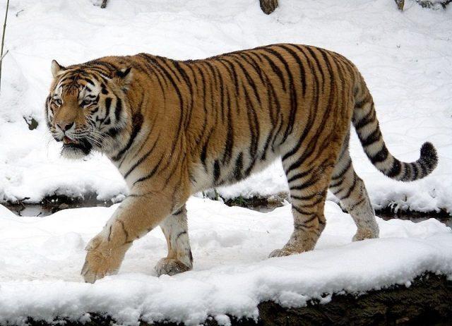 Gambar Siberian Tiger Nama Hewan Dari Huruf S