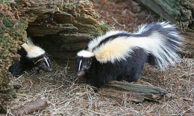 Gambar Skunk Nama Hewan Dari Huruf S