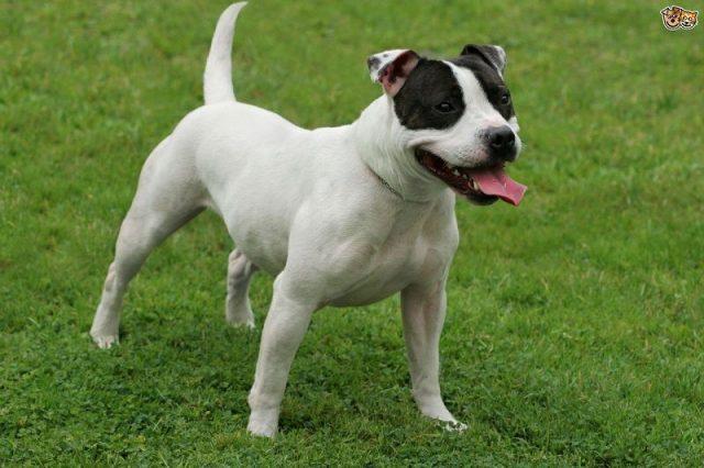 Gambar Staffordshire Bull Terrier Nama Hewan Dari Huruf S