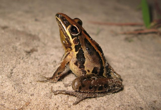 Gambar Striped Rocket Frog Nama Hewan Dari Huruf S
