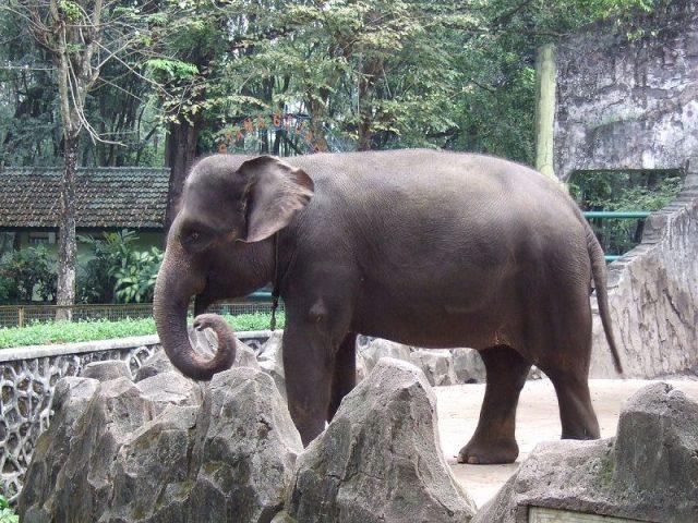 Gambar Sumatran Elephant Nama Hewan Dari Huruf S