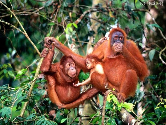 Gambar Sumatran Orangutan Nama Hewan Dari Huruf S