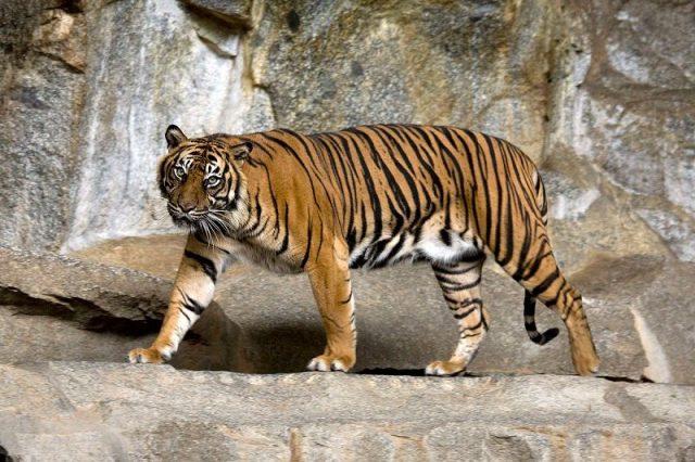 Gambar Sumatran Tiger Nama Hewan Dari Huruf S