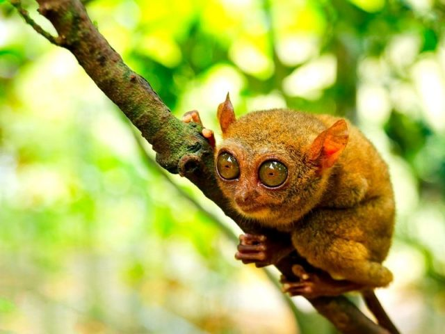 Gambar Tarsius ( Bahasa Indonesia ) Nama Hewan Dari Huruf T