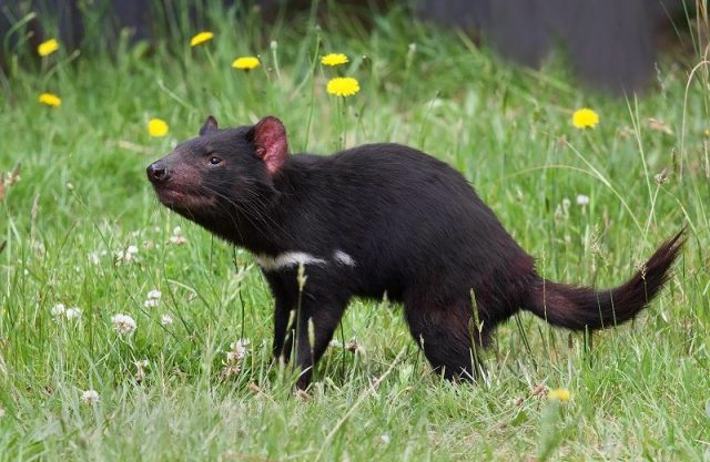 Gambar Tasmanian Devil Nama Hewan Dari Huruf T