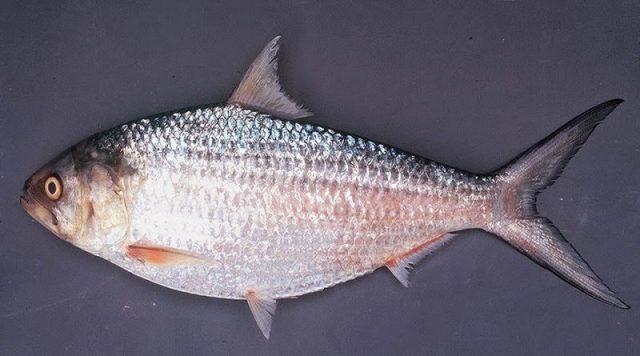 Gambar Terubuk (ikan) Nama Hewan Dari Huruf T