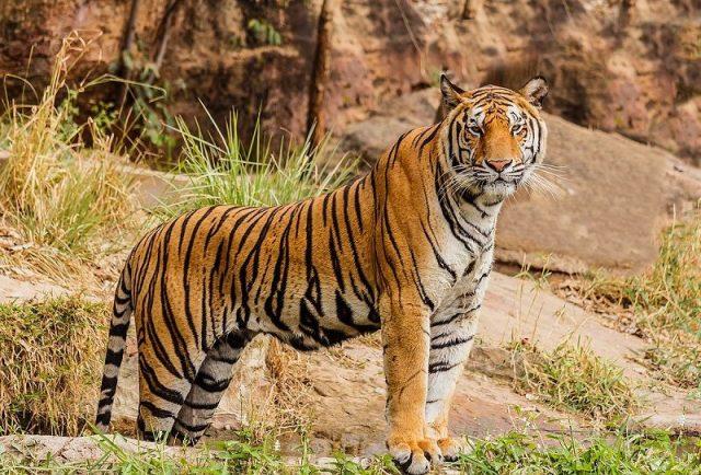 Gambar Tiger Nama Hewan Dari Huruf T