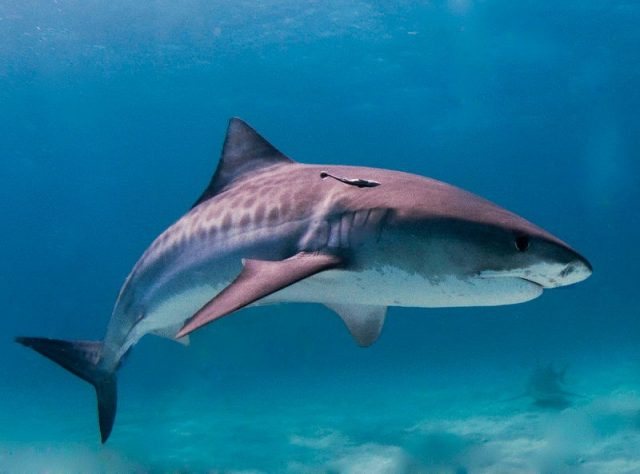 Gambar Tiger Shark Nama Hewan Dari Huruf T