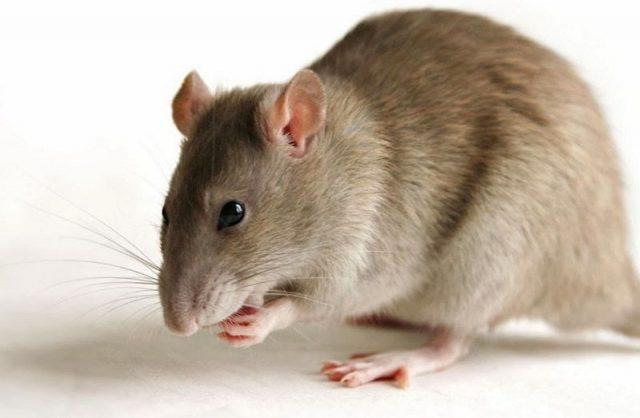 Gambar Tikus Nama Hewan Dari Huruf T