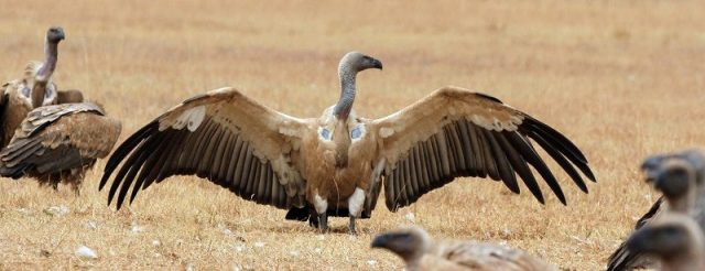 Gambar Vulture Nama Hewan Dari Huruf V