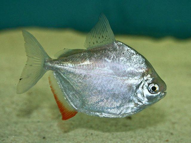 Gambar silver dollar fish Nama Hewan Dari Huruf S