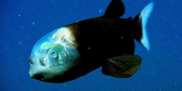 Gambar Ikan Di Lautan Dalam Barreleye Fish