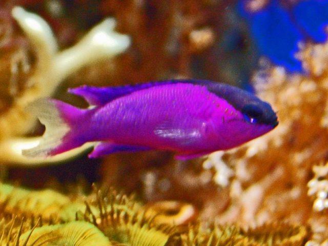 Gambar Ikan Hias Air Laut Black cap gramma