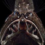 Gambar Ikan Di Lautan Dalam Fangtooth