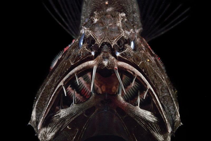 18 Gambar Ikan Di Lautan Dalam Yang Paling Menakutkan