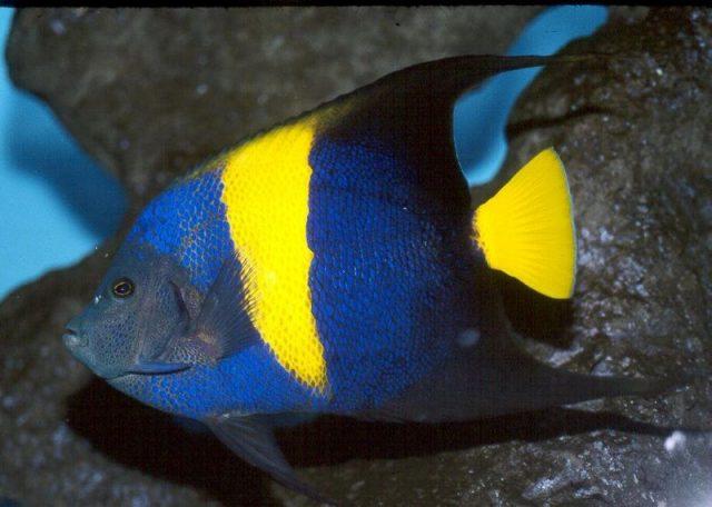 Gambar Ikan Hias Air Laut Arabian angelfish