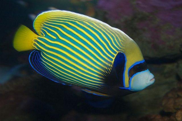 Gambar Ikan Hias Air Laut Emperor angelfish