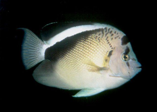 Gambar Ikan Hias Air Laut Griffis angelfish