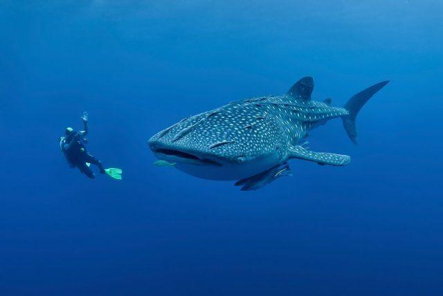 Gambar Ikan Terbesar Di Dunia Ikan Hiu Paus ( whale shark )