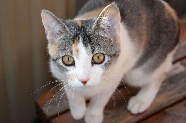 Gambar Daftar Nama Hewan Mamalia Kucing