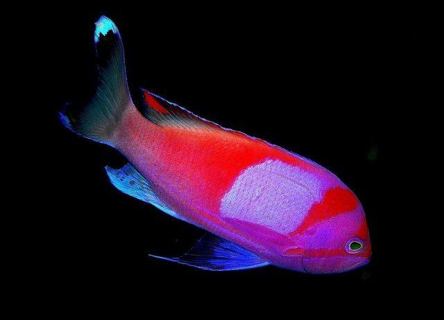 Gambar Ikan Hias Air Laut Squareback anthias