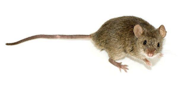 Gambar Daftar Nama Hewan Mamalia Tikus