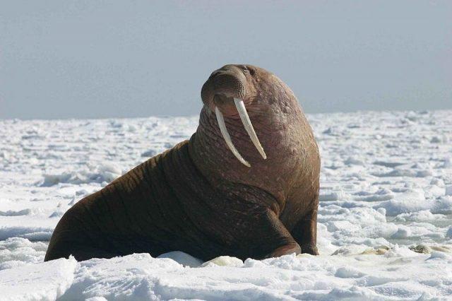 Gambar Walrus Nama Hewan Dari Huruf W