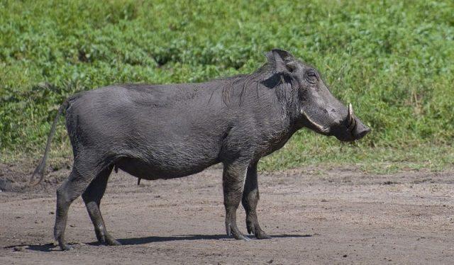 Gambar Warthog Nama Hewan Dari Huruf W