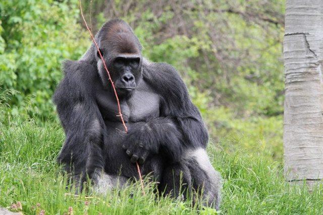Gambar Western Lowland Gorilla Nama Hewan Dari Huruf W