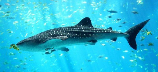 Gambar Whale Shark Nama Hewan Dari Huruf W