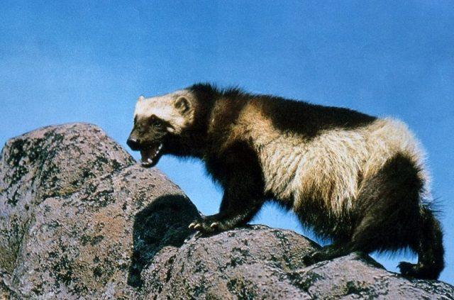 Gambar Wolverine Nama Hewan Dari Huruf W