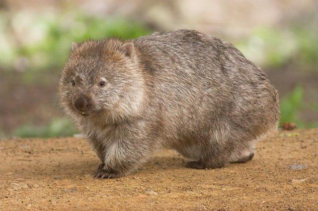 Gambar Wombat Nama Hewan Dari Huruf W