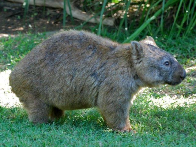 Gambar Wombat ( Bahasa indonesia ) Nama Hewan Dari Huruf W