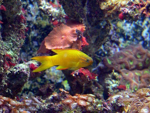 Gambar Ikan Hias Air Laut Yellow Assessor